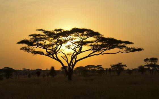 Rising Sun shinning through an Acacia Tree in Serengeti