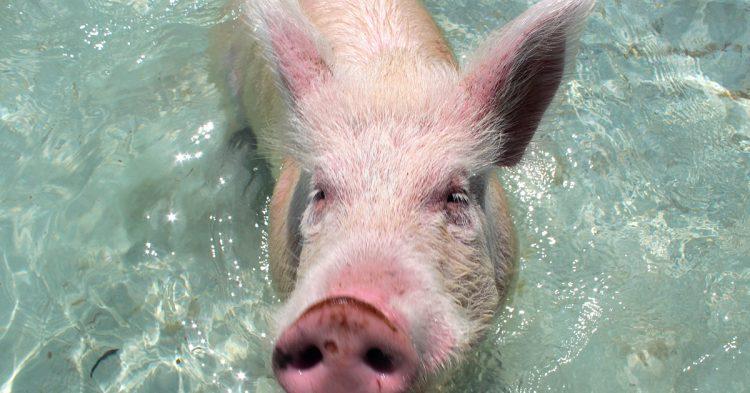 IMG_5647_EX_Pigs
