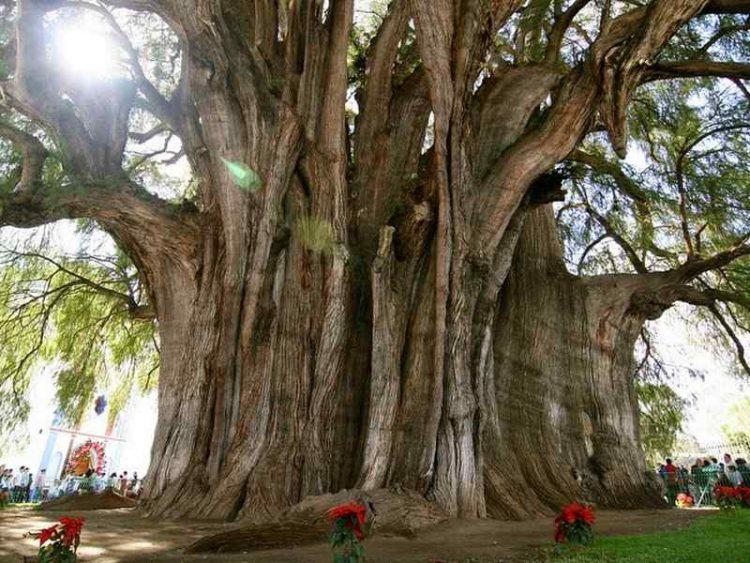alberi impressionanti - cipresso di montezuma