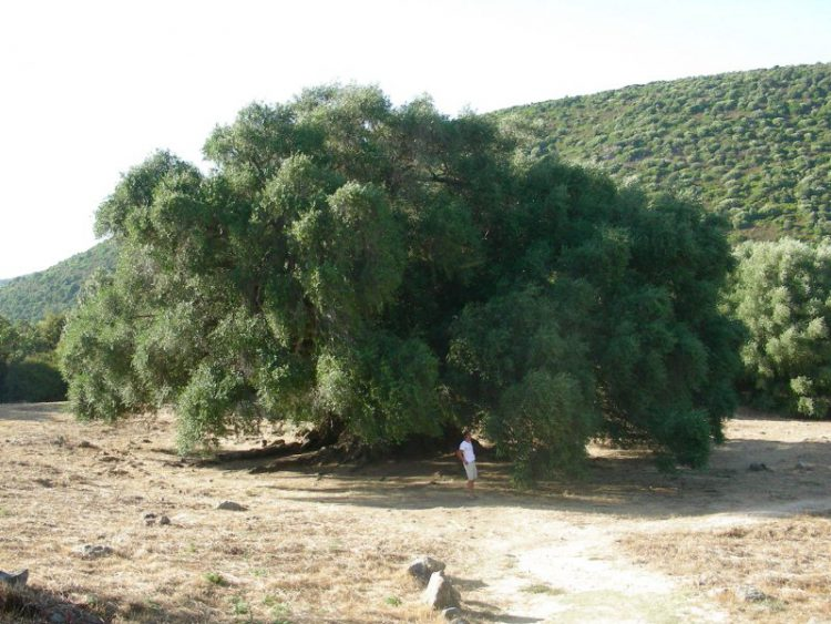 alberi impressionanti - olivo sardegna
